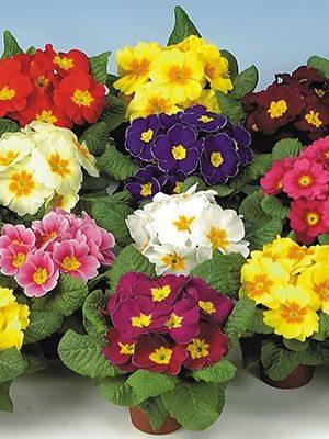 Примула обыкновения позднего срока цветения, смесь (6 шт) - 1