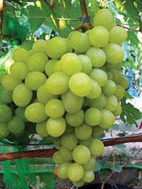 Виноград Валек мускат (1 шт)