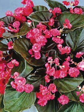 Бегонія вечноцветущая Doublet Red (1 шт)