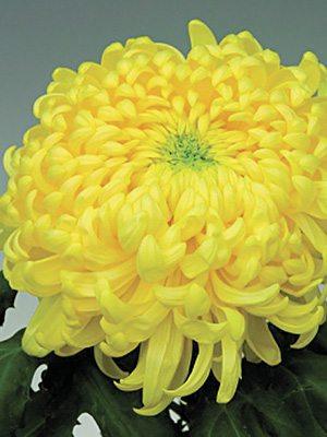 Хризантема срезочная Br.Yellow May Shoesmith (9 шт) - 1