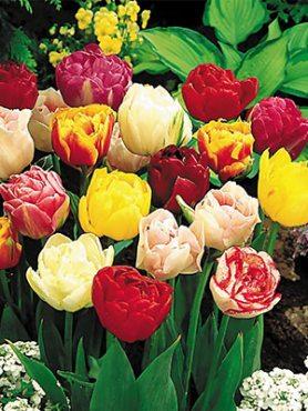 Тюльпаны Махровые поздние, смесь 1012 (10 шт)