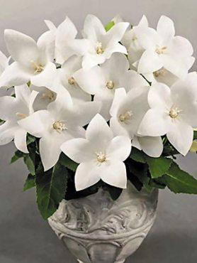 Платикодон гібридний Pop Star White (6 шт)