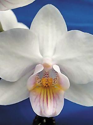 Фаленопсис гибридный Oshun (1 шт) - 1