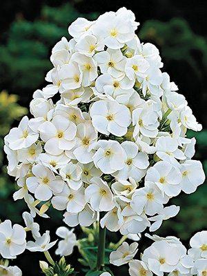 Флокс метельчатый White Admiral (1шт) - 1