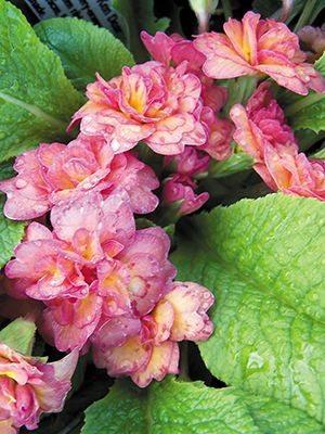 Примула обыкновенная Petticoat Clear Pink F1 (3 шт) - 1