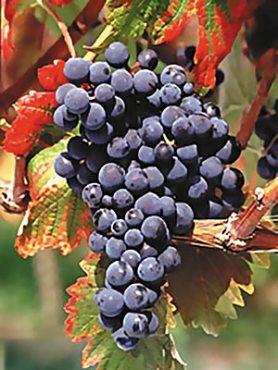 Виноград Монарх (1 шт)