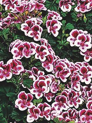 Пеларгония виолоцветная Angeleyes Randy (1 шт) - 1