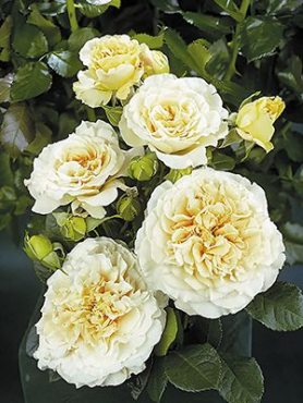 Роза чайно-гибридная Comtessa (1 шт)