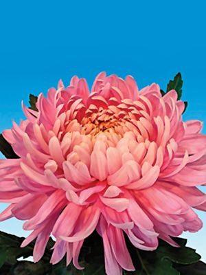 Хризантема срезочная Allouise Pink (3 шт) - 1