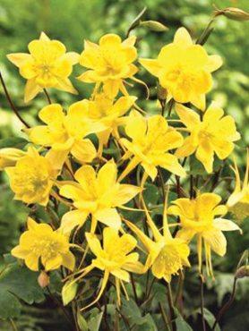 Водосбор золотистоцветковый, желтый (0,1 г)