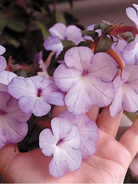 Ахіменес гібридний Cattleya (5 шт)