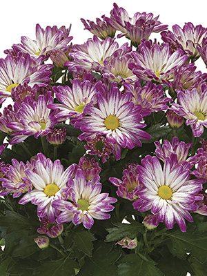 Хризантема горшечная Cheerio (9 шт) - 1