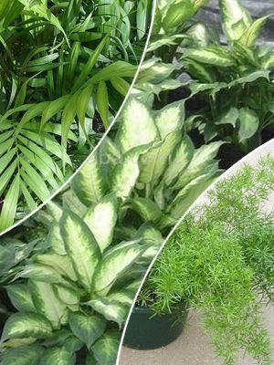 Смесь декоративнолиственных комнатных растений (3 шт) - 1