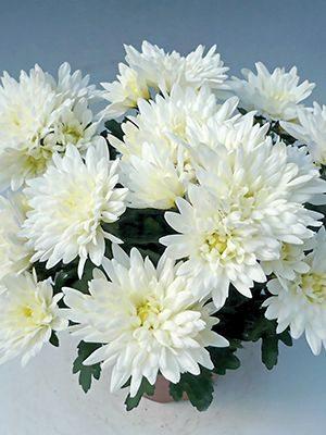 Хризантема срезочная Smola White (3 шт) - 1