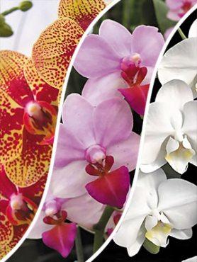 Смесь комнатных орхидей (3 шт)