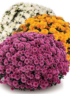 Хризантема дрібноквіткова низькоросла суміш (9 шт) - 1