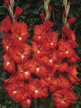 Гладиолус садовый Franco Zecca 1214 (50 шт)