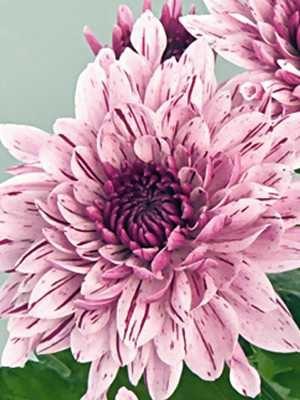 Хризантема срезочная PIP (3 шт) - 1