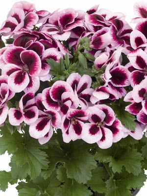 Пеларгония королевская Graziosa Purple Picotee (1 шт) - 1