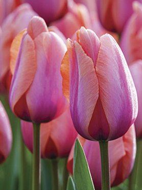 Тюльпаны Триумф Holland Beauty 12+ (3 шт)