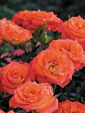 Роза почвопокровная Mandarin (1 шт)