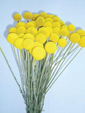 Краспедія куляста Барабанні палички, жовта (20 шт)