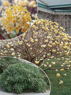 Эджвортия золотистоцветковая (1 шт)