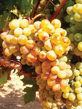 Виноград Первісток Магарача (1 шт)