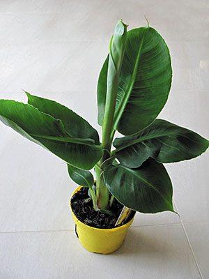 Банан загострений Tropicana (1 шт) - 1