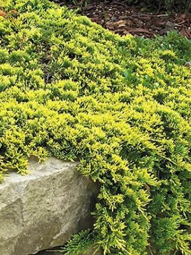 Можжевельник горизонтальный Golden Carpet (1 шт)