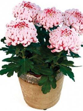 Хризантема горшечная Kalisto (9 шт)