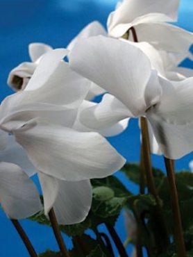 Цикламен среднецветковый  White F1              (1 шт)