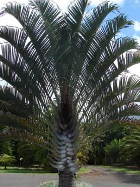 Дипсис Декарии (трикутна пальма) (3 шт)