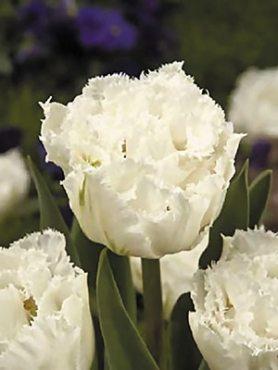 Тюльпаны Махровые бахромчатые Snow Chrystal 11/12 (3 шт)