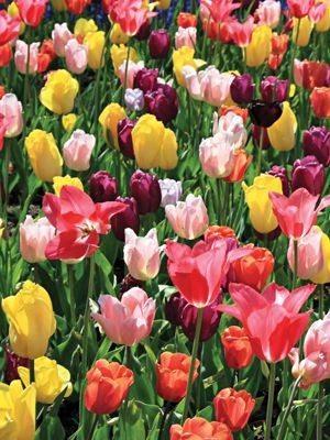 Тюльпани, суміш всіх класів (50 шт)