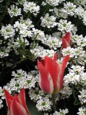Иберис вечнозеленый, белый (0,1 г)