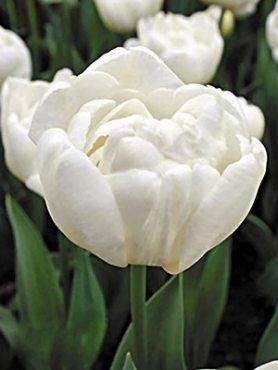 Тюльпаны Махровые ранние Mondial 12+ (3 шт)