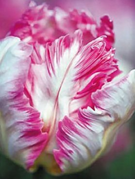 Тюльпаны Попугайные Silver Parrot 1112 (3 шт)