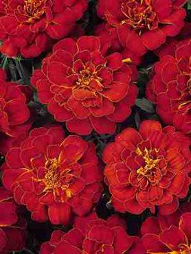 Бархатцы отклоненные Durango Red, красно-коричневые (10 шт)