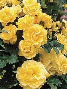 Роза почвопокровная Limesgold(1 шт)