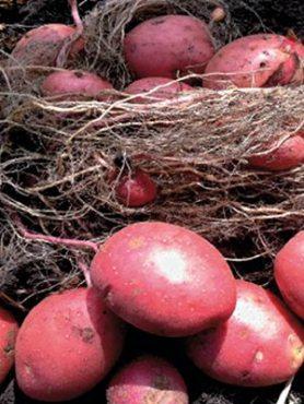 Картофель Лабелла (1 кг)