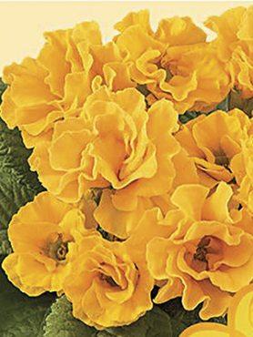 Примула бесстебельная Elodie Golden Yellow F1 (3 шт)