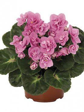 Сенполия (узамбарская фиалка) MAXI Roccoco Pink (1 шт) осень