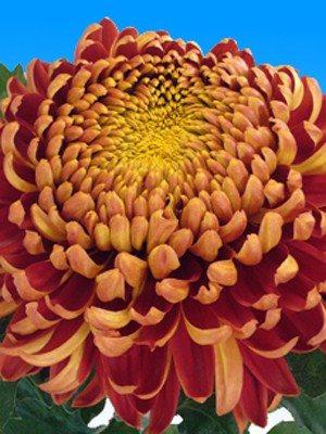 Хризантема срезочная Hanenburg Red (9 шт) - 1
