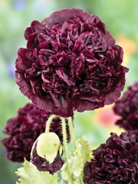 Мак пионоцветковый Black, темно-вишневый махровый (0,3 г)