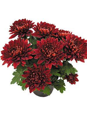 Хризантема горщикова Vido Red (3 шт) - 1