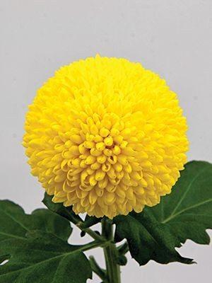 Хризантема срезочная Ping Pong Golden (9 шт) - 1