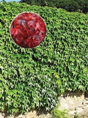 Девичий виноград триостренный ф. Вича (1 шт) - 1