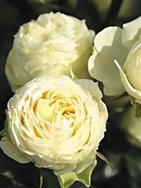 Роза чайно-гибридная Lemon Rokoko (1 шт)