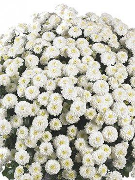 Хризантема мелкоцветковая низкорослая ZsaZsa White (9 шт)